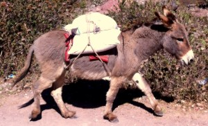 burro carrying maras salt from salineras