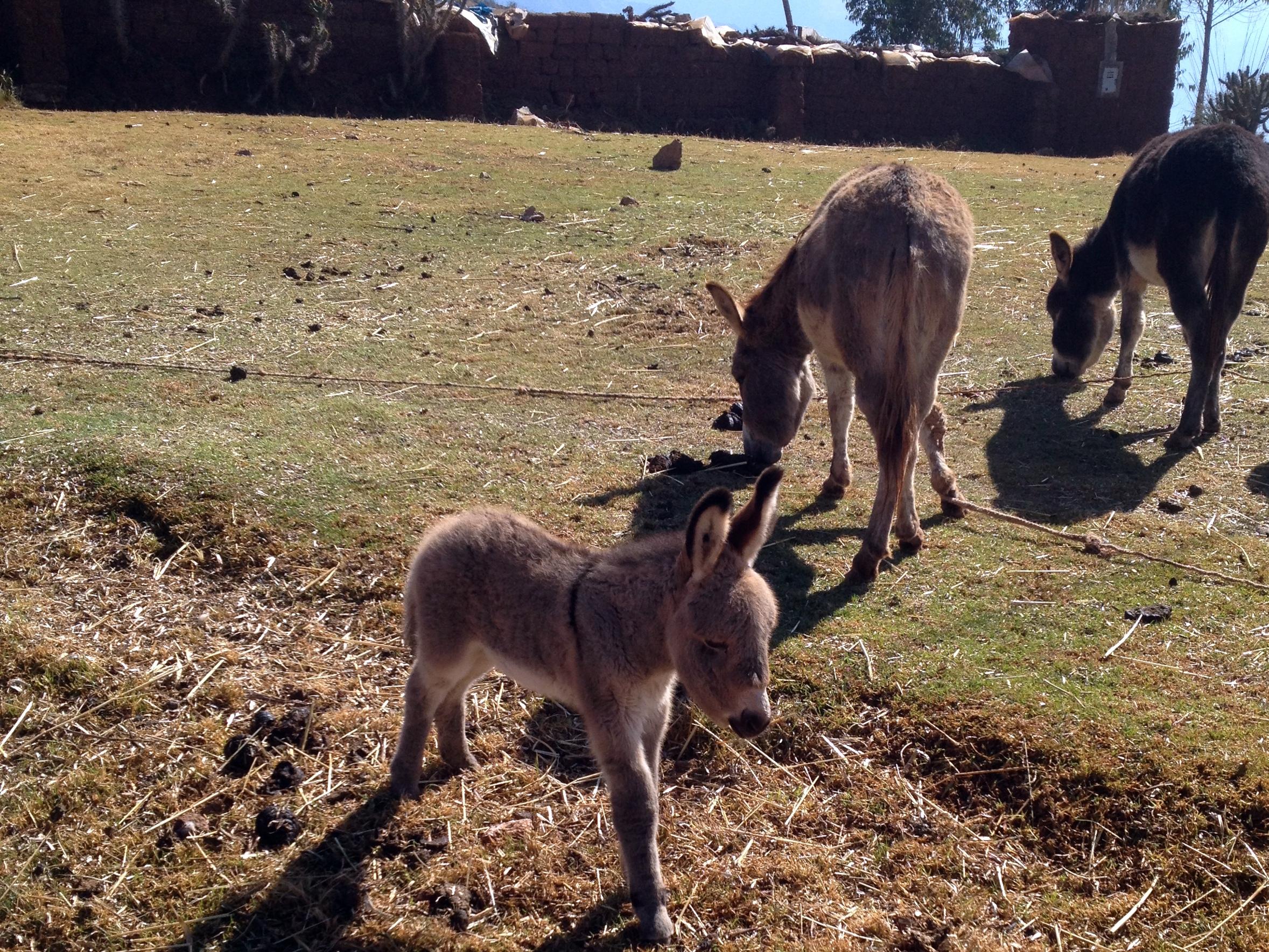 Burro foal