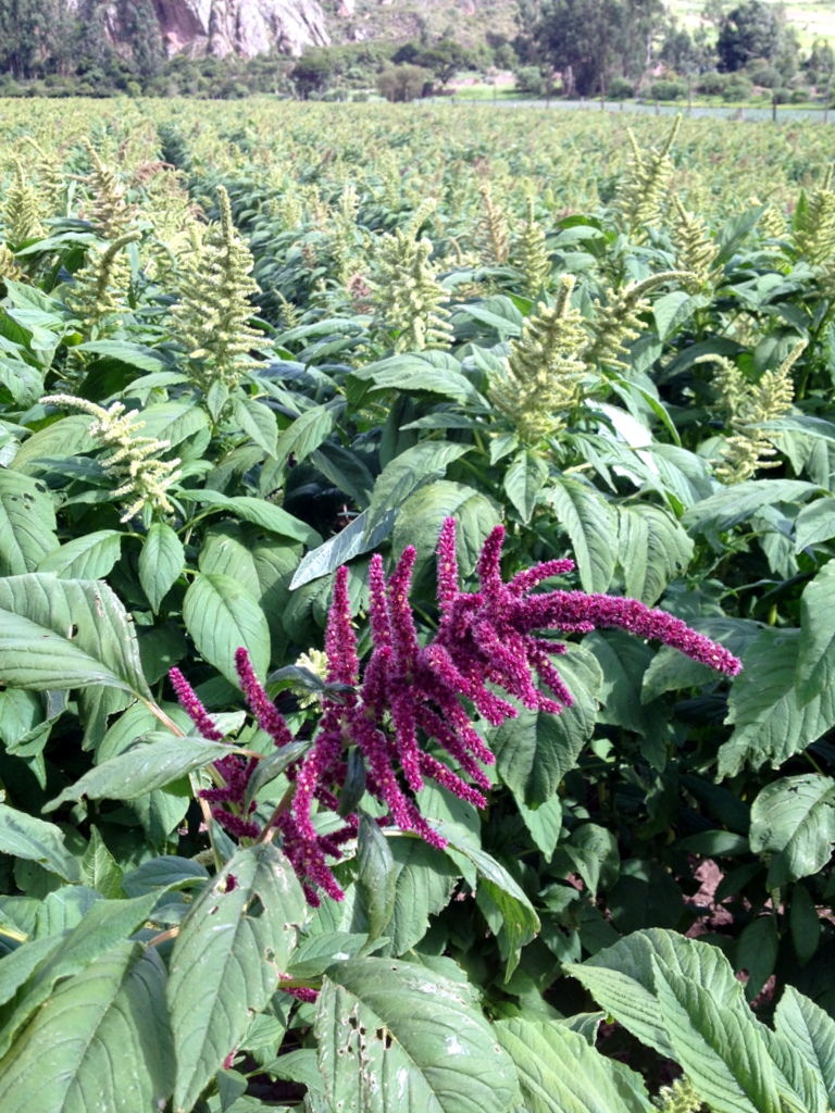 Quinoa crops in the Sacred Valley