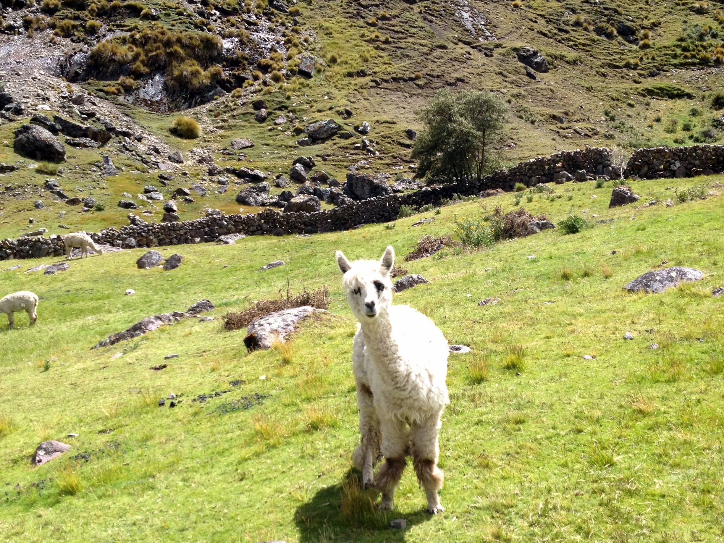 Alpaca above sacred valley
