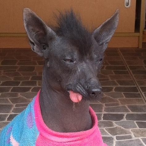Peruvian Hairless