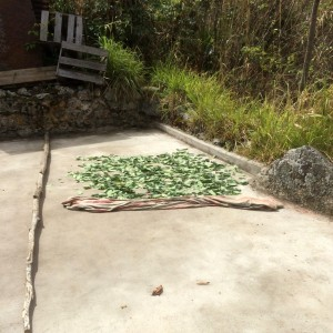 Coca Leaves Dring in the Sun